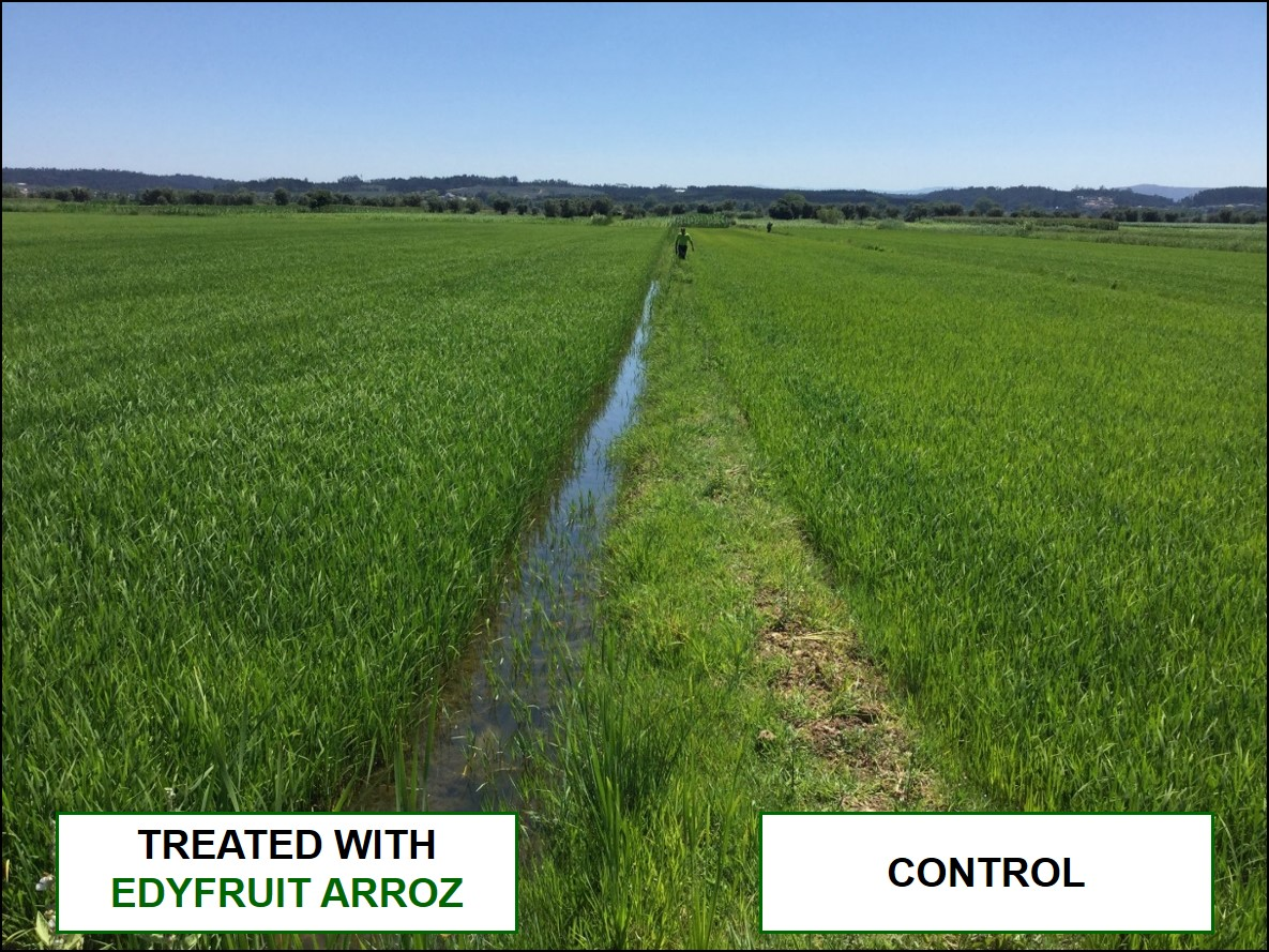 Comparation of rice plants treated with EDYFRUIT ARROZ and Control