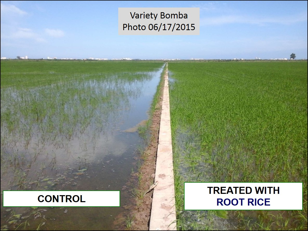 Comparation of rice plants treated with ROOT RICE and Control